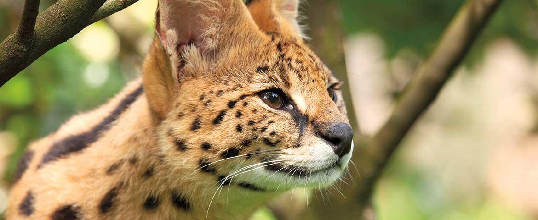 Wildkatzen-Hybriden