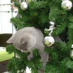 Meine 1 1/2-jährige British Kurzhaar Katze Namens Baghira liebt es immer und überall dabei zu sein. Auch wenn ich den Christbaum auf dem Balkon vorbereite muss sie sofort alles unter ihre Samptpfoten nehmen und klettern sogar rauf, in der Hoffnung, dass sie vielleicht bereits Päckli findet. Es könnte ja eins für sie dabei sein.......