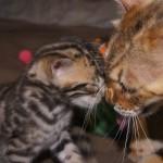 Bengal-Mama Penny (3,5 Jahre alt) mit Kitten