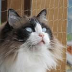 Ragdoll-Kater Petzi, 8 jährig, hat soeben einen Vogel gesehen !