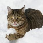 Tiger hat dieses Jahr seinen ersten Schnee erlebt. Nach anfänglicher Scheu vor dem kalten Nass, hat es ihm riesigen Spass gemacht, den Schneebällen nachzujagen.