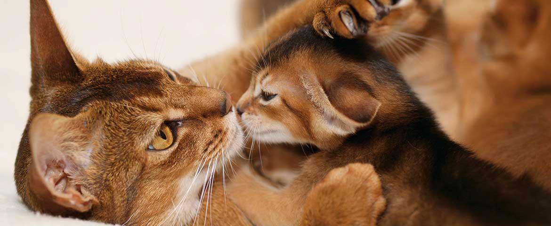 Abessinier-Katze