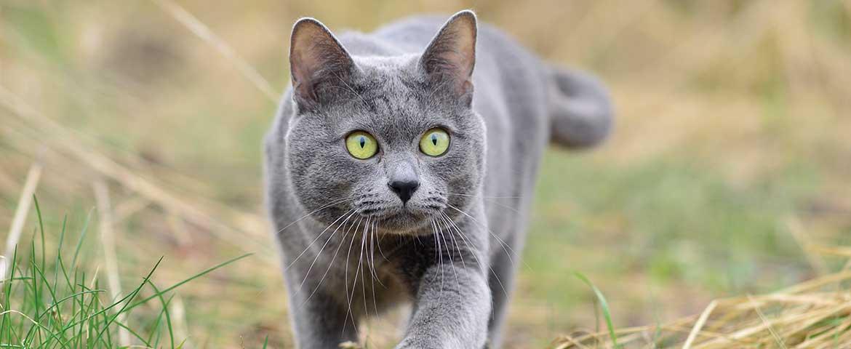 Korat Katze