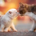 zwei unserer Britisch Kurzhaar Kitten.