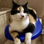 """Alicia ist 2.1/2 Jahre jung ist eine europäische Hauskatzen und 3-farbig. Foto: Sie hockt gerne auf das """"Klo""""."""