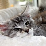 Maine Coon Kater Diego (4 Monate)