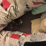 Joy (BKH, 4 Jahre) liebt es, wenn ich die Bettdecke ausschüttle. Dann springt er oft drunter und macht es sich anschliessend bequem.:-)
