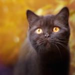 Unsere Zefirina, eine Britisch Kurzhaar Katze in der Farbe chocolate.