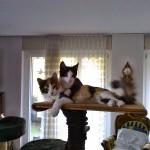 Die beiden 5 bzw. 6 Monate alten Katzendamen Dupla (schwarz/weiss) und Malu (Tricolore) sind beste Freundinnen und unternehmen praktisch alles immer gemeinsam.