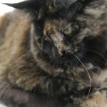Yumi - Maine Coon - 1,5 Jahre
