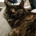 Sissi 6 Jahre Hauskatze