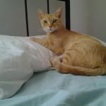 Suzy aus Malta, intelligente, wild geborene Katze, ca 15 Monate alt, sucht einen Platz bei Katzenliebhaber, der ihr Auslauf gewähren kann. Nach der Geburt von vier gesunden Kätzchen, wurde sie beschnitten und geimpft. Sie ist eine ganz harmonische, sensible, liebevolle Katze. Leider kann ich sie nicht behalten, da ich viel auf Reisen bin. Die Frau, die sie momentan betreut kann sie leider nicht behalten, da sie schon 6 grosse Katzen in einer Wohnung unterbringen muss. Suzy ist mir in Malta zugelaufen, da ich sie fütterte - dann hat sie heimlich in einem Zimmer meiner Gartenwohnung geworfen - und seit daher fühle ich mich für ihr Wohl verantwortlich.