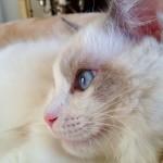 Cleo, 2 Jahre alt, Ragdoll Eine echte Prinzessin.