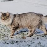 Norwegische Waldkatze - Kater Haakon genißt es im Schnee zu laufen.