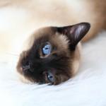 Soraya, unsere Thai Siam Katze ist mittlerweilen 10 Jahre jung und posiert immer noch gerne vor der Kamera.