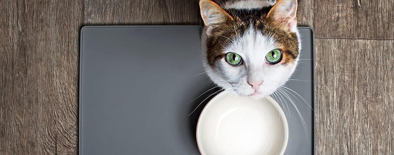 Anriss Übergewicht bei der Katze